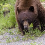 Grizzly Bear Wells Gray Park